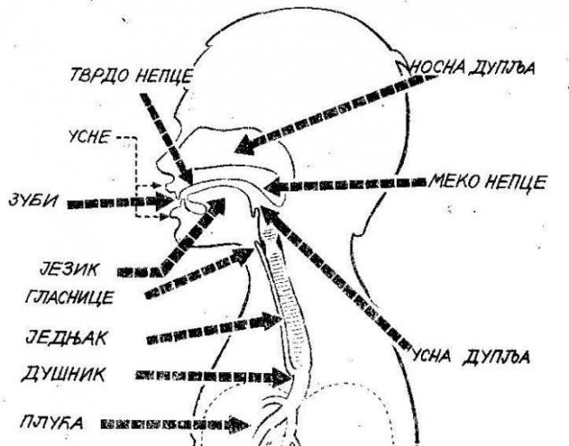 Govorni organi 1